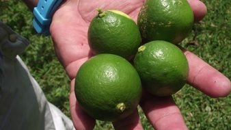green lemons in man's hand