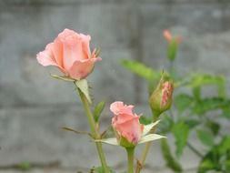 light pink roses with buds on a bush