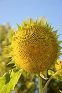 photo of a sunflower without petals