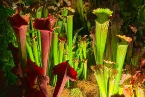thickets of colorful pitcher, carnivorous plant
