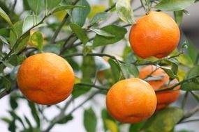 orange tangerines on a branch in Mexico