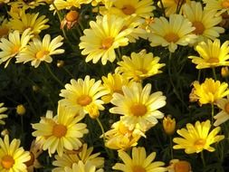 bright yellow floral plants in blossom