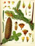 painted flowering spruce, cones and buds