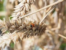 ladybug on wheat spike
