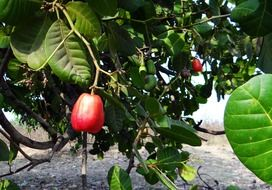 red cashew fruit