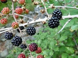 ripening blackberries on the branch