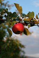 red ripe apple on a branch