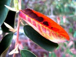 red leaf with black spots