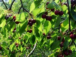fruit tree of cherry sweet red fruit