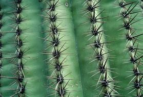 juicy cactus with sharp thorns