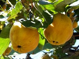 Yellow quince fruits on the tree branches