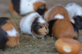 family of guinea pigs