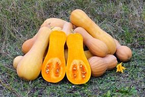 harvest of butternut squash