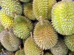 durian harvest in Singapore