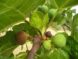 fig tree with unripe green fruit