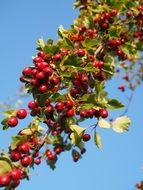 Red berries on a bush branch