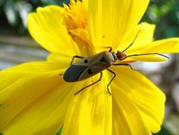 beetle on a bright yellow flower close-up