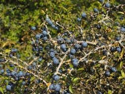 Blue berries on tree