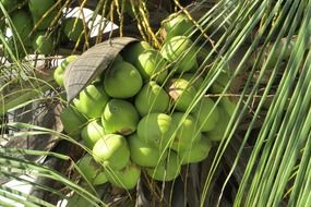 green coconuts on a tree