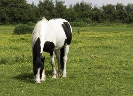 horse pony grazing