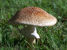 Autumn mushroom growing in grass