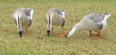 gray domestic geese in the pasture