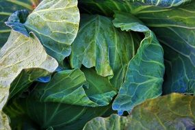 Cabbage leaves closeup