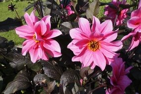 dahlia floral plants natural rose flowers