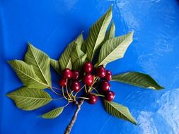 branch of cherry sweet red fruit
