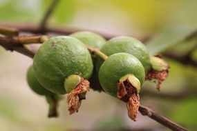 guava green fruit