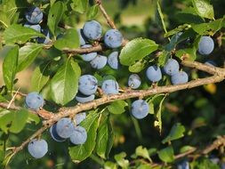 bush with blue berries