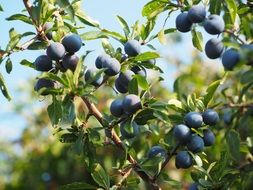 blue berries bush