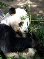 Giant beautiful panda is eating bamboo in a zoo