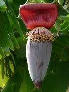 banana red flower