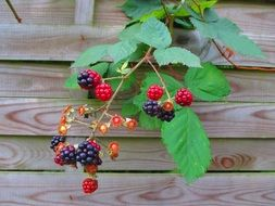 blackberries on a tree branch