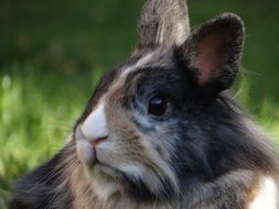 Dwarf rabbit on the grass
