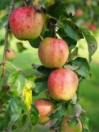 healthy vitamins apple tree fruit red frisch