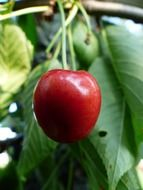 cherry sweet delicious red fruit