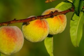 three peaches on a branch in the garden
