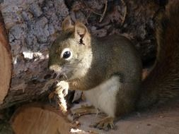 furry squirrel with acorn in the forest