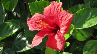 red hibiscus flower among green leaves