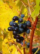 blue grapes fruit for wine