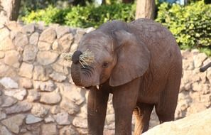 baby elephant with a raised trunk at the zoo
