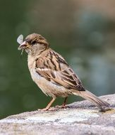 Sparrow with insect in its beak