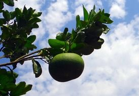 Green grapefruit on a tree branch