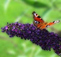 brown butterfly on a purple flower in nature