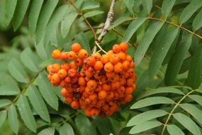 mountain adh berries