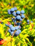 bush of berries blue fruit