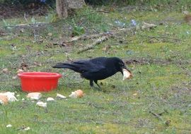 Crow is eating bread