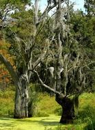 Spanish moss plant at swamp